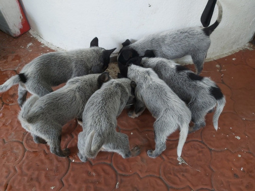 hermosos cachorros blue heller pastor australiano machos y h