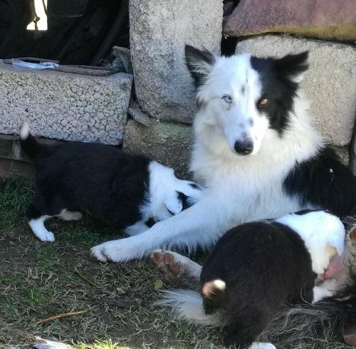 hermosos cachorros border collie, machos y hembras.