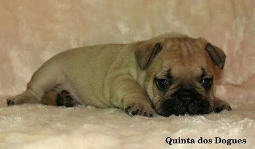hermosos cachorros bulldog francés