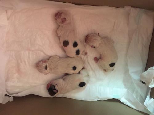 hermosos cachorros bulldog ingles