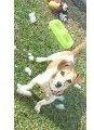 hermosos cachorros de jack russell patas cortas pelo cort