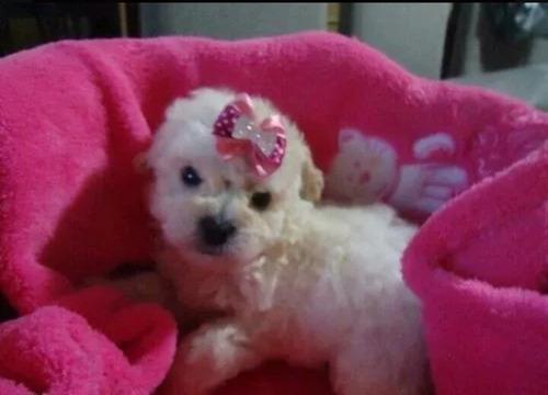 hermosos cachorros french poodle minitoy padres de pedigree