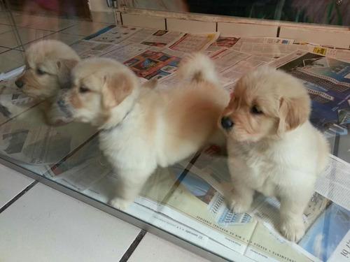 hermosos cachorros golden retriever