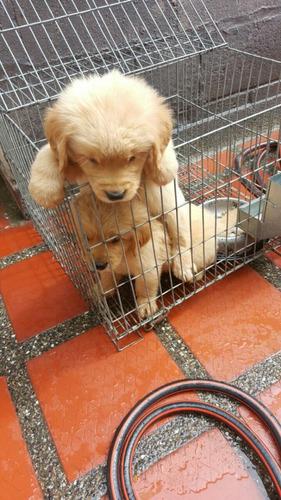 hermosos cachorros golden retriever puros criadero peludos