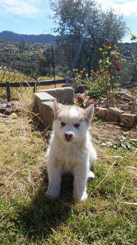 hermosos cachorros hoskis siberianos