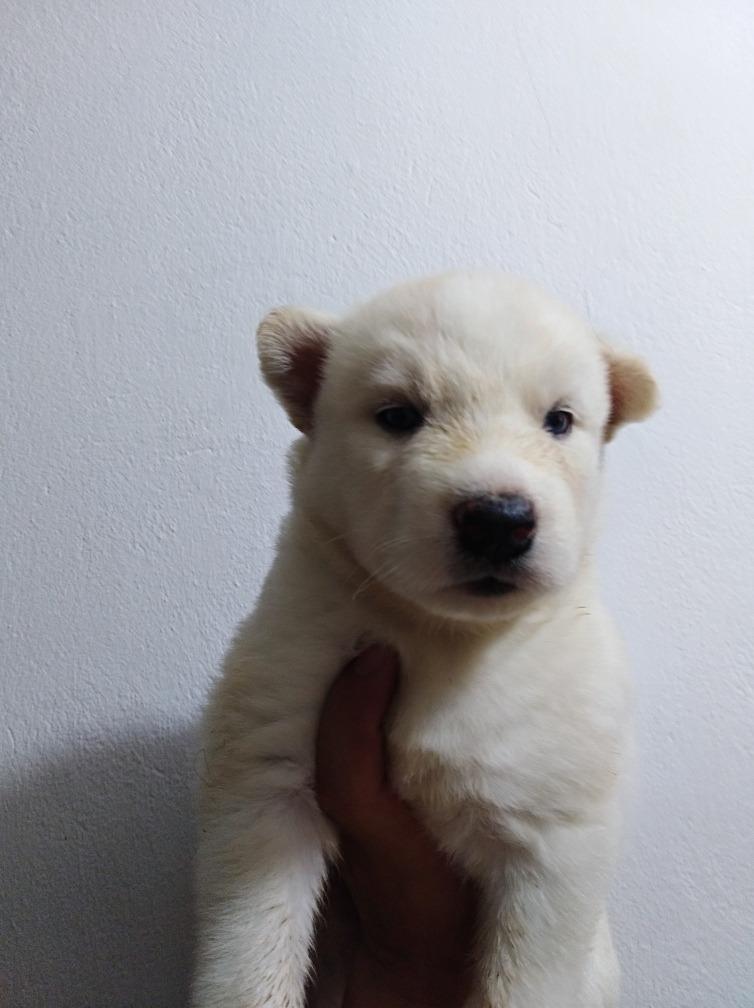 Hermosos Cachorros Husky Lobos Siberiano 950000 En Mercado Libre