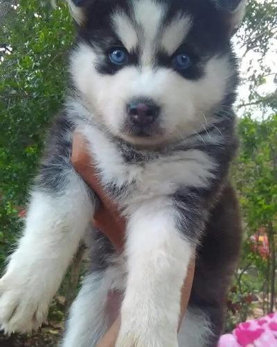 hermosos cachorros husky siberiano