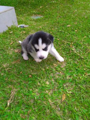 hermosos cachorros husky siberiano de raza ojos azules