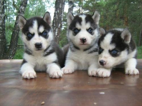 hermosos cachorros husky siberiano garantizados
