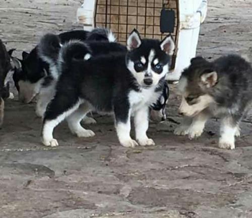 hermosos cachorros husky siberianos