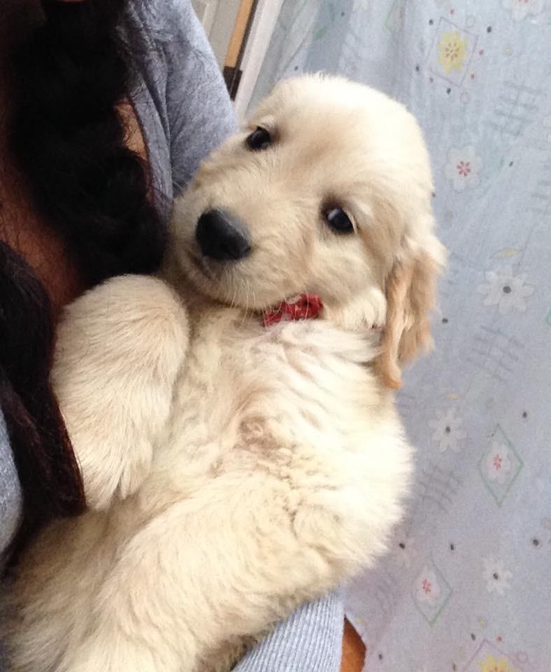 Hermosos Cachorros Labrador Golden Retriever Puros Perrito