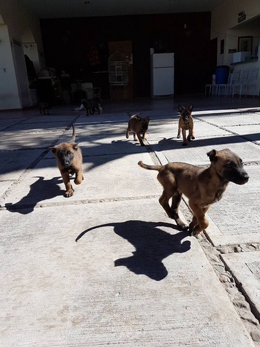 hermosos cachorros pastor belga malinois.