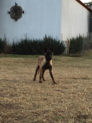 hermosos cachorros pastor belga malinois
