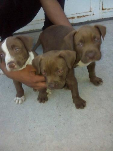 hermosos cachorros pit bulls