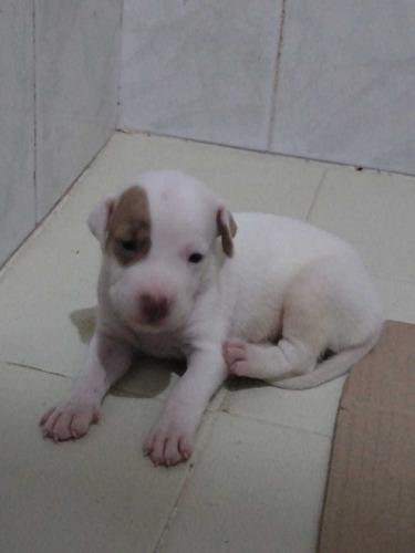 hermosos cachorros pitbull 280000 con la primera vacuna y de