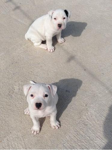 hermosos cachorros pitbull
