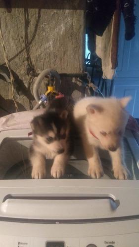 hermosos cachorros siberian husky!!