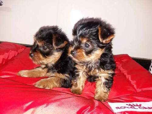 hermosos  cachorros  yorkshire   linea  mini garantizado....