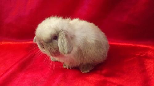 hermosos conejos (belier mini lop) 100% raza pura