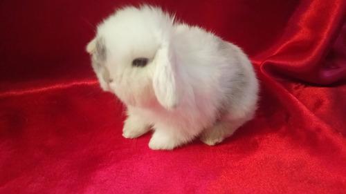 hermosos conejos belier (mini lop) calidad show 100% puros