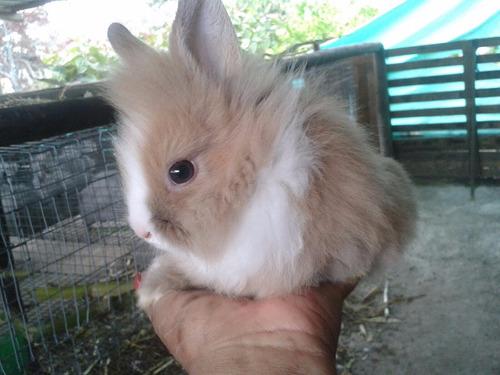 hermosos conejos cabeza de leon de venta.