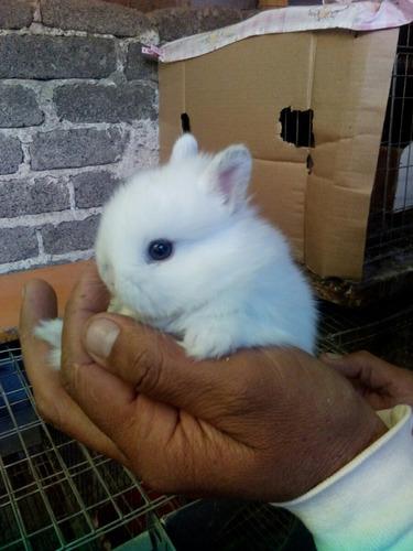 hermosos conejos netherland dwar (enano holandes) 100% puros