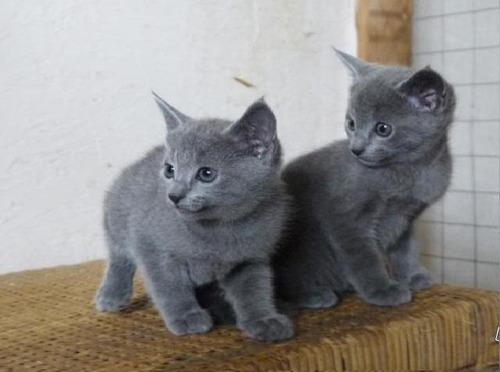 hermosos gatitos rusos azules