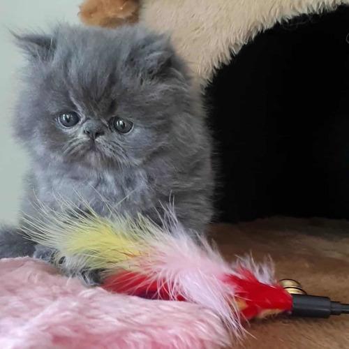 hermosos gatos persa la mejor compañía