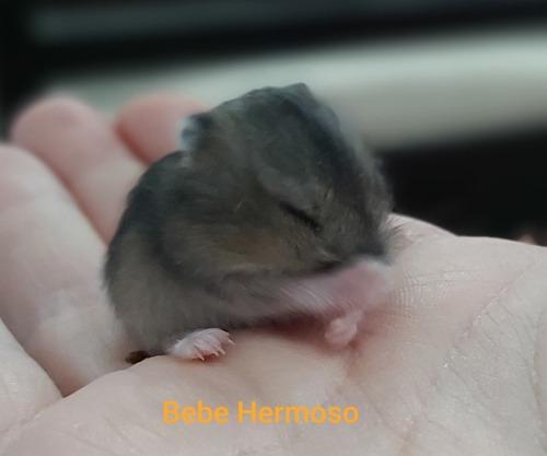 hermosos hámster miniatura