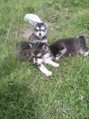 hermosos huskys