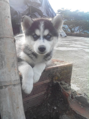 hermosos lobos siberianos