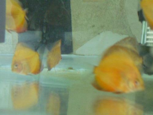 hermosos peces discos
