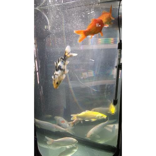 Hermosos peces koi de 20 cm pethome chile en - Peces koi precio ...