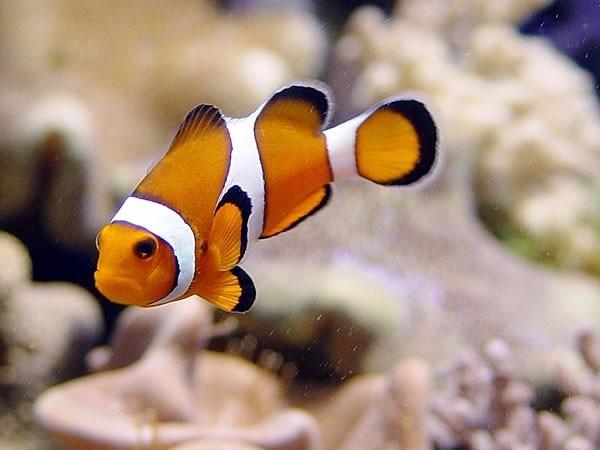 Hermosos peces marinos de criadero en mercado libre for Peces para criadero