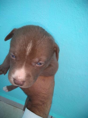 hermosos pitbull husky