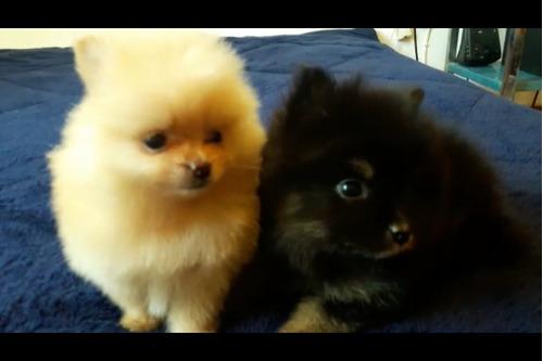 hermosos pomerania cachorros