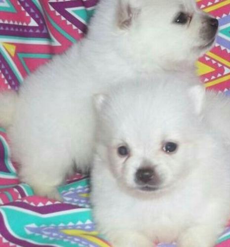 hermosos pomeranios lulú, criadero canino tu mejor amigo
