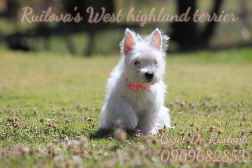 hermosos west highland white terrier