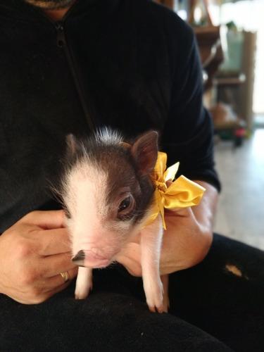 hermosos y diminutos mini pig