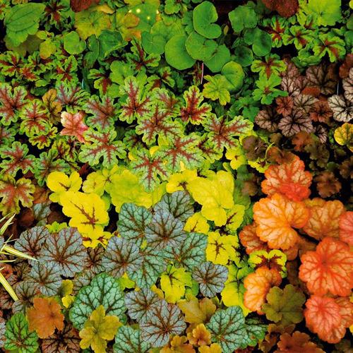 heuchera sortida arco iris flor sementes para mudas