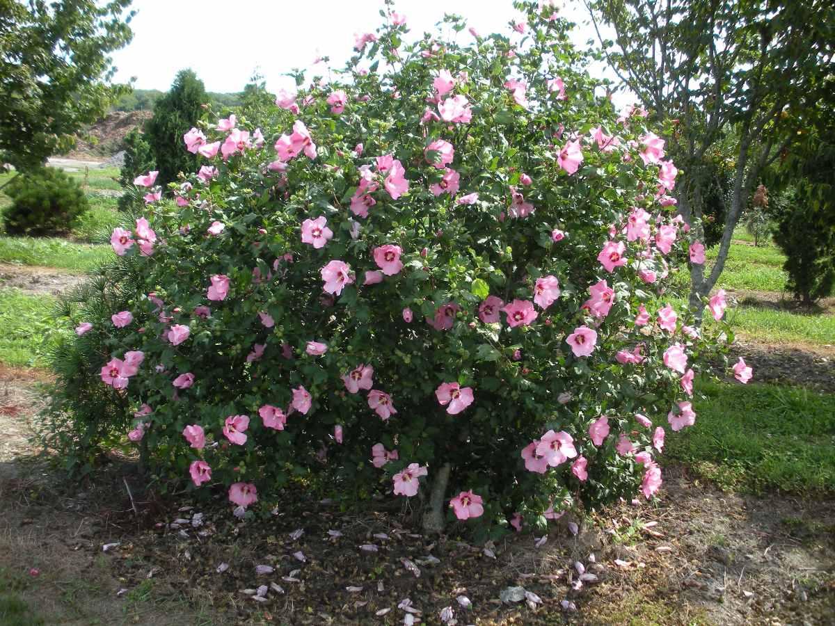 hibisco hibiscus syriacus rosa sementes flor para mudas. Black Bedroom Furniture Sets. Home Design Ideas