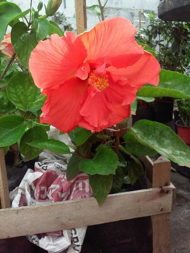 hibiscos dobles variedad de colores