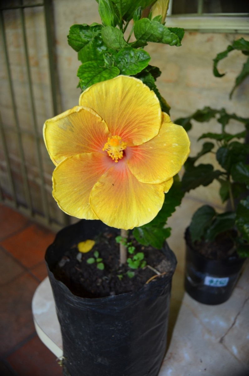 Hibiscos peruanos hermosas plantas amarillos y - Plantas bonitas de interior ...