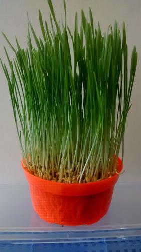 hierba para gatos kit semillas a germinar 3 plantas