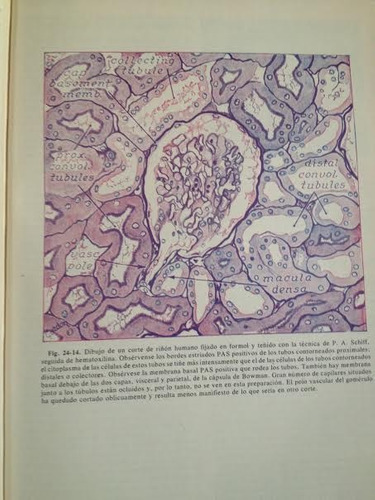histologia  arthur ham septima edicion