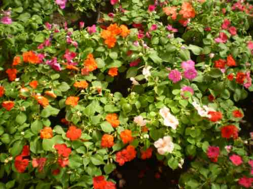 Planta alegria de la casa good alegra de la casa with planta alegria de la casa cheap semillas - Alegria planta cuidados ...