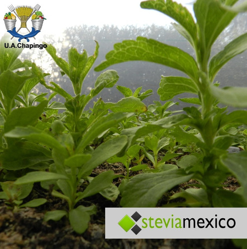 hoja entera de stevia 1 kg + 1 kg pulverizada envío incluido