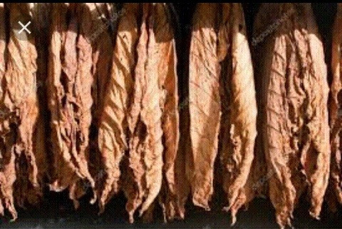 hojas de tabaco
