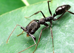 hormiga-reina-odontomachus-bauri-D_NQ_NP_982260-MLM31464170669_072019-Q.jpg