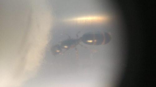 hormiga reina pheidole aberrans mirmecoarg
